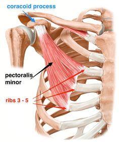 pectoralis minor muscle