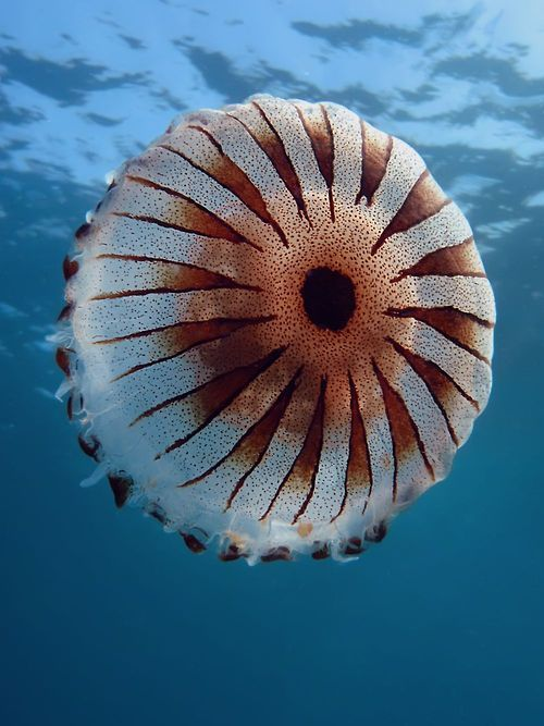 Compass jellyfish | ©Marinko Babic Top view of Chrysaora hysoscella photographed near the city of Pula, Adriatic Sea, Croatia.