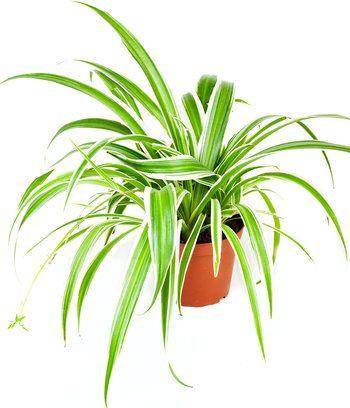 1000 id es sur le th me chlorophytum sur pinterest for Plante a suspendre interieur