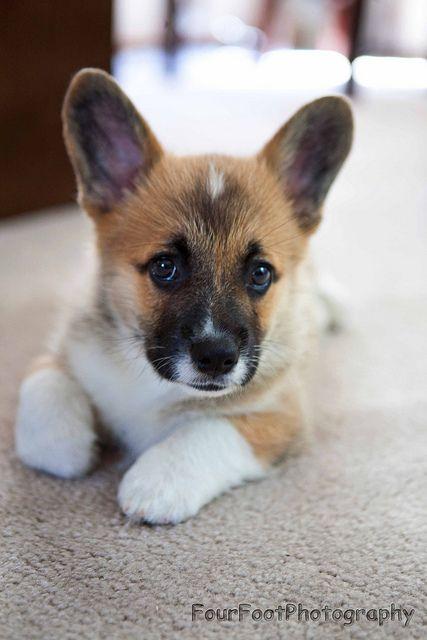 Adorable corgi pup. I LOVE these adorable dogs :)