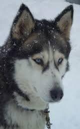 de ogen van het husky zijn heel speciaal. als het dag licht is worden de ogen kleiner en als het in het nacht worden die groter. + als ge licht op het ogen doet krijgen ze rode ogen