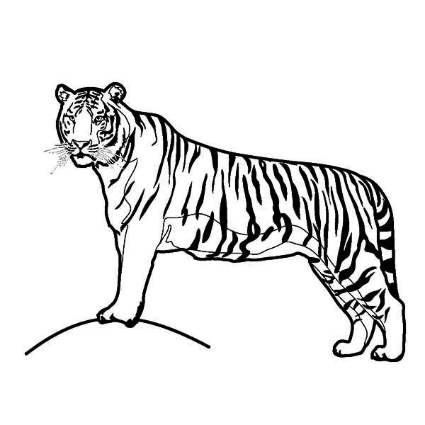 Tiger A Tiger On Its Hunting Postition Coloring Page Coloring