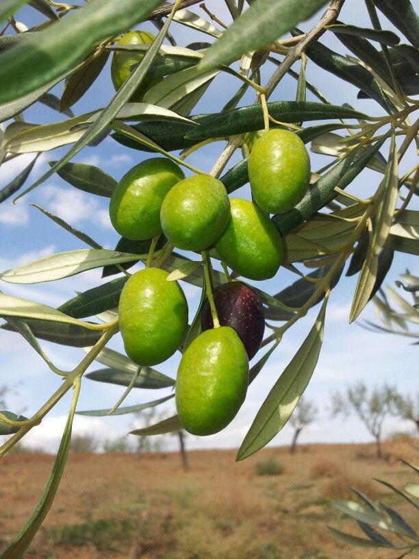 Ramillete de aceitunas picuales en AOVE lasolana2.