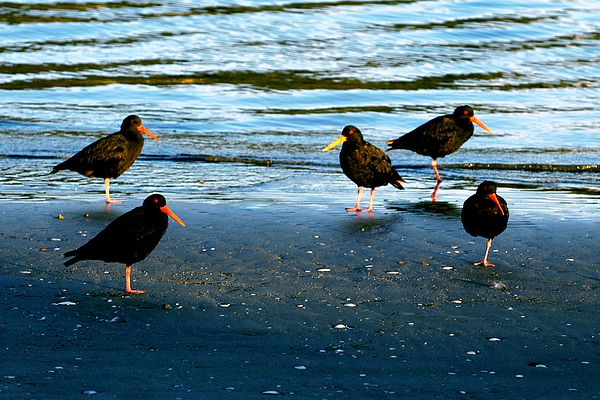 At the end of a very long first day in New Zealand, with the sun about to set, I spotted a group of five variable oystercatchers quietly standing in what appeared to be a formation. I found this formation interesting, took my one shot, and moved on. Only after returning home and while editing my photos, did I realize that four of the five birds were standing on one leg. #birds #shore #sand