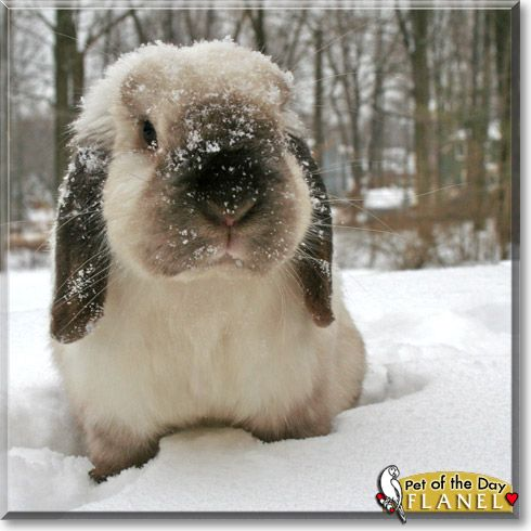 pictures of holland lop bunnies
