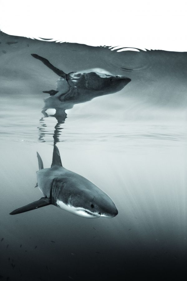 Top 10 Shark Dives From Whale Sharks to Great White Sharks