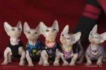 KRYCIA (Reproduktor) Sprawdzony RU! Kociaki 63 / program - oddy eyes!