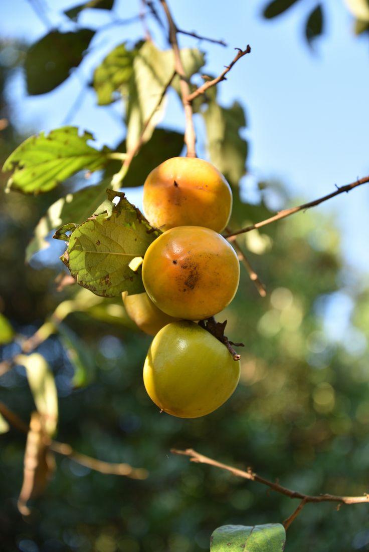 泉の森の柿の木です。実りの秋、たわわに実った柿が色づき始めていました。タテに3つの実が並んで、さながらだんご三兄弟です。 記事を書きながら、