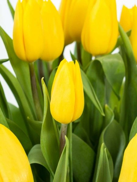 Die besten 25+ gelbe Tulpen Ideen auf Pinterest Tulpen Blumen - gelbe dekowand blume fr wohnzimmer