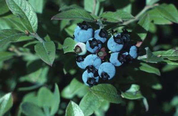 Pruning Blueberries Step By Step Instructions For More Fruit Growing Blueberries Pruning Blueberry Bushes Rose Seeds