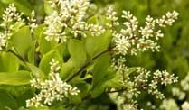 Der Liguster während der Blüte (Quelle: imago / arco-images) (Quelle: imago)