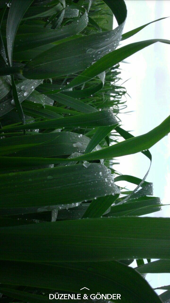Wheat of field