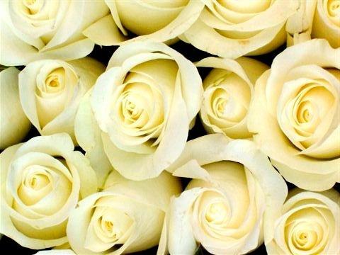 Wallpaper - white roses