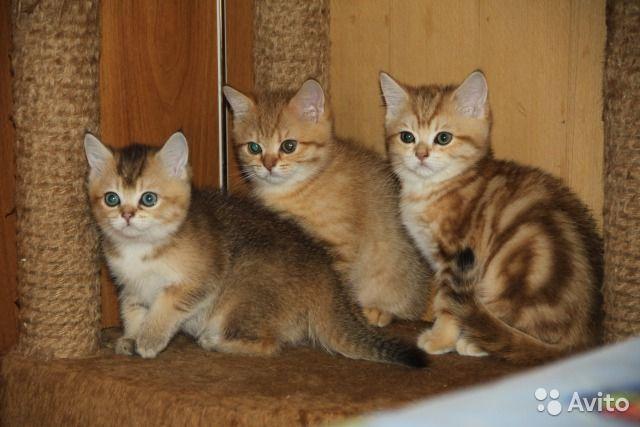 Вязка. Кот золотой мраморный. Есть котятки от него - купить, продать или отдать в Республике Башкортостан на Avito