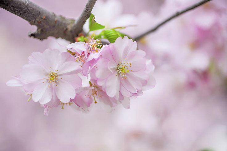 Spring Hello Photograph by Jenny Rainbow