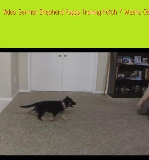 German Shepherd Puppy Training Fetch 7 Weeks Old Dog Training To