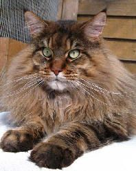 Maine Coon AKA Best Cats Ever!