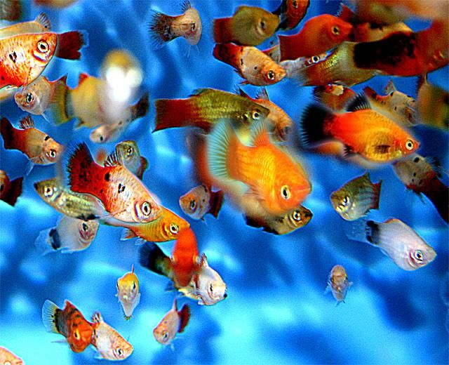 76 best freshwater aquarium fish fri images on pinterest for Best community fish