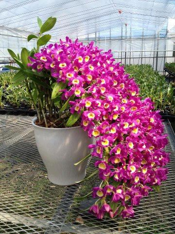 Dendrobium cascade.  In nature's garden it would appear natural and in this pot it makes me think this is one hell of a green house gardener!  High Five whoever you are!