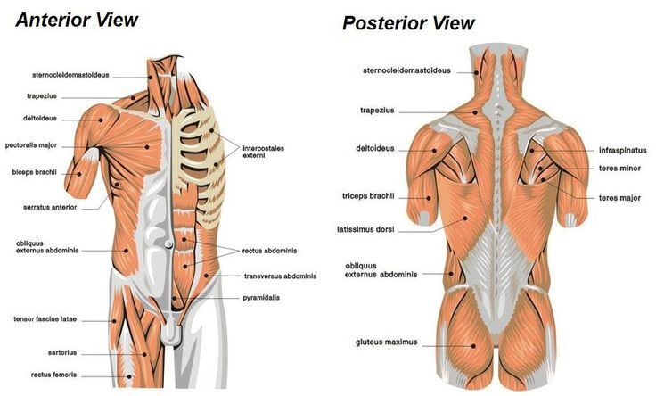 physiology muscle and google on pinterest : torso muscles diagram - findchart.co
