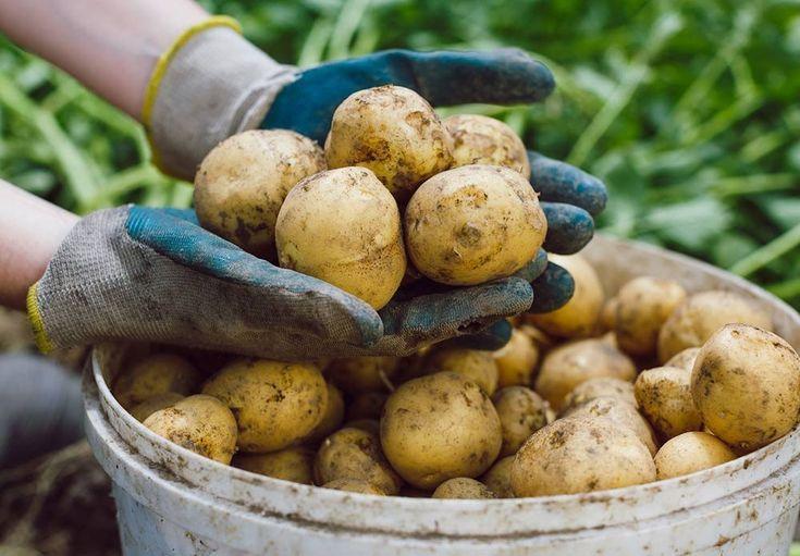 Det er enkelt å dyrke poteter i potter på terrassen.