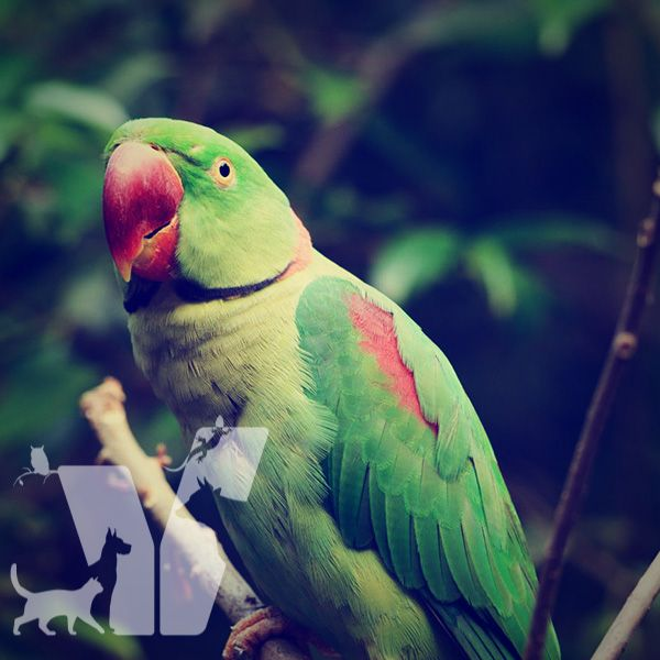 İskender Papağanları Hindistan kökenli Asya papağanlarıdır. Bu papağanlar güzel…
