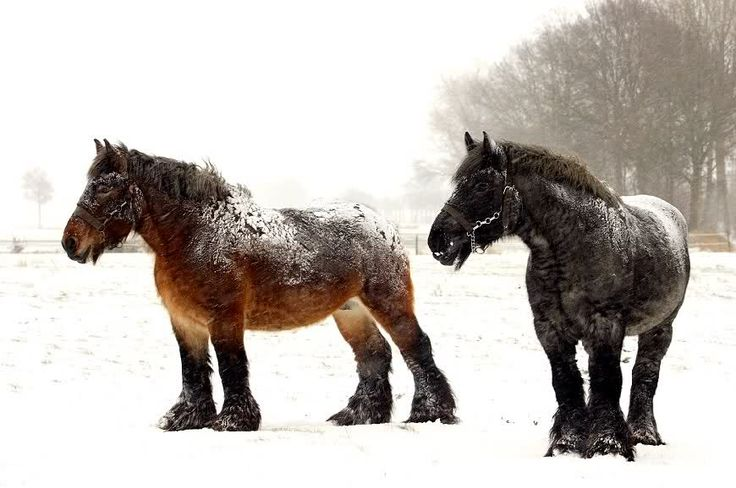No snow can harm these belgian horses. What a breed!