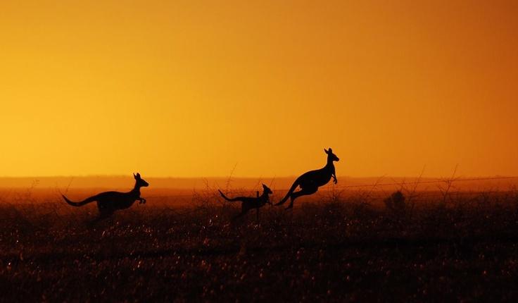 Australian Outback  #travel #kangaroo #wallaroo