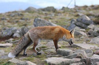.: ADAM MATUSZYK :. - Lis (Babiogórski Park Narodowy)/Lis 11 lis / Babiogórski Park Narodowy (BPN) / Babia Góra  #przyroda #zwierzęta #lis #fox #animals #Babia Góra #Beskidy #BPN #Babiogórski Park Narodowy #góry #szlaki górskie #górskie wędrówki #turystyka górska #Poland #Polska