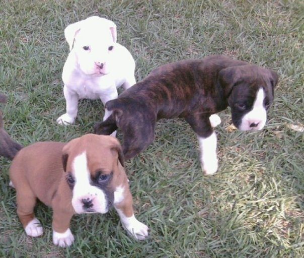 Boxer Dog Puppies For Sale In Wales