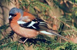 Common Chaffinch (Bokfink)(Fringilla coelebs)
