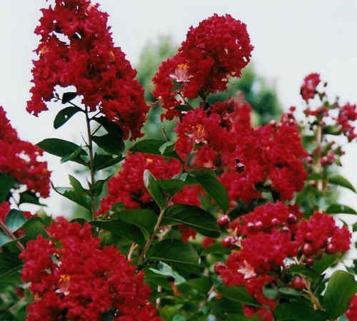 29 Best Images About Crepe Myrtles On Pinterest Trees