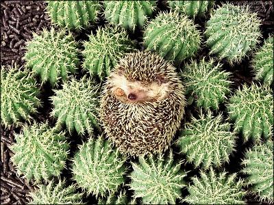 A hedgehog among cacti