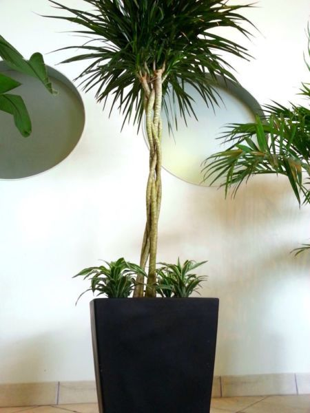 17 best images about my houseplants on pinterest kangaroo paw sansevieria trifasciata and. Black Bedroom Furniture Sets. Home Design Ideas