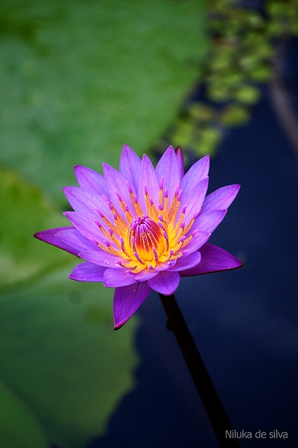 Blue lotus flower sri lanka -- but it surely looks violet ...