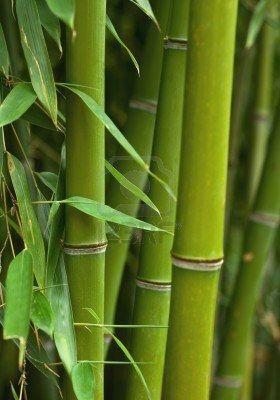Wild Bamboo.
