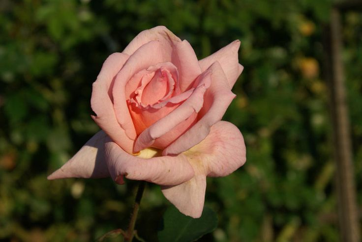 Compassion | This is a really tough rose. Unblemished by leaf diseases, it performs outstandingly by growing into 3 m x3 m self-supporting shrub or as a climber when supported by a fence, pergola or pillar. The medium-sized blooms are of an immaculate hybrid tea shape and the firm textured delicate pink petals reflex as they unfold, revealing not only a pleasing apricot-yellow based colour, but also the most unusual sweet fragrance. With new growth sprouting all the time and blooms…