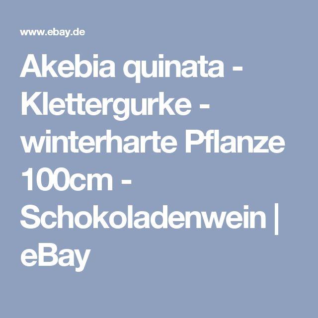 Akebia quinata - Klettergurke - winterharte Pflanze 100cm - Schokoladenwein  | eBay