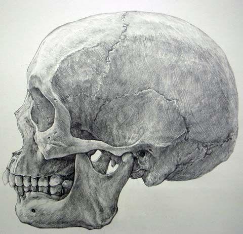 頭蓋骨 デッサン - Google 検索