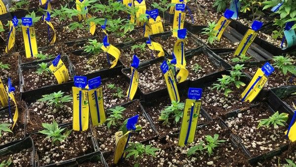Ohio medical marijuana program moves forward despite calls to freeze awarding growing licenses