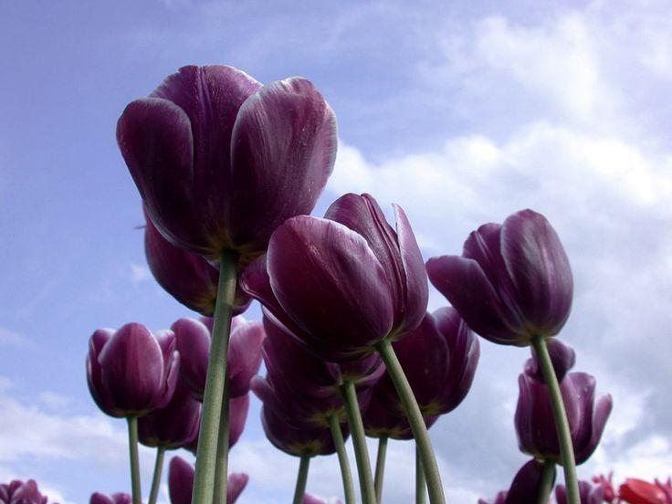Black Tulip Flowers | Black Tulip flower pictures