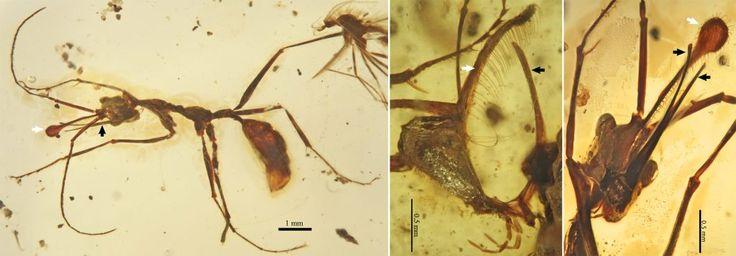« Avec ses adaptations extrêmes qui trouvent en partie leur pendant chez des fourmis actuelles, la fourmi-licorne permet donc d'en savoir un peu plus sur le comportement de ces premières lignées, souligne Vincent Perrichot. Et il est surprenant de constater un comportement aussi spécialisé, généralement observé chez des lignées plus dérivées. Pour la première fois, cela va dans le sens du modèle ancestral proposé par la biologie moléculaire – de petites colonies de prédatrices spécialisées…