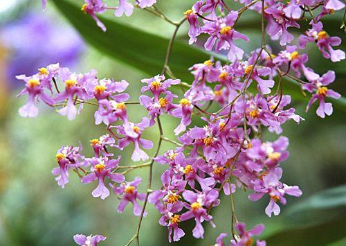 Les fleurs délicatement ciselées d'Oncidium ornithorhynchum embaument avec une puissance rare. ©www.map-photos.com – Vacherot & Lecoufle