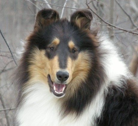 Eden - Taliesen Premiere Tri Color Rough Female Collie at Taliesen Collies of Michigan