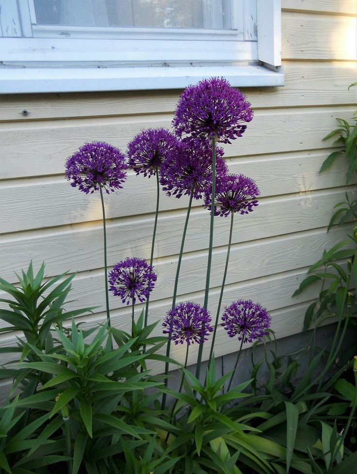 2017 Ukkolaukka (Allium Hollandicum) - Purple Sensation (Allium Hollandicum)