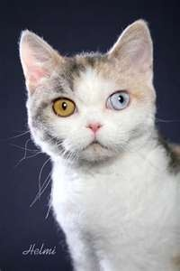 American Wirehair with one gold, one blue eye.