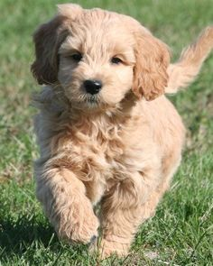 Miniature Goldendoodle!!!! Want want want. Can't decide between this little one and a yorkie pooooo <3