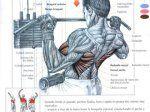 Los 7 mejores ejercicios para biceps - Taringa!