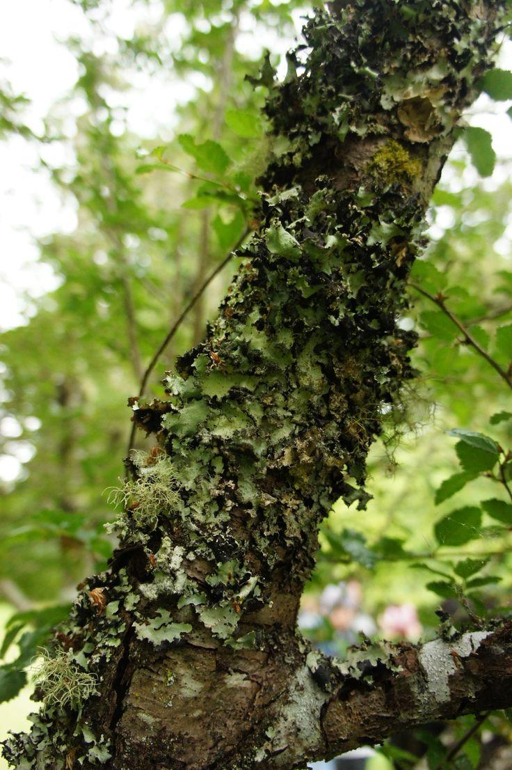 Mosses and lichens. Botanical Garden of the Austral University in Valdivia, Los Ríos, Chile. - Musgos y líquenes. Jardín Botánico Universidad Austral en Valdivia, Los Ríos, Chile.