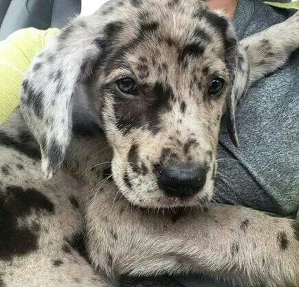 Beautiful Merle Great Dane Puppy